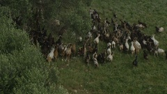 Goats Going on a Pasture Land Stock Footage