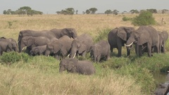 CLOSE UP: Herd of beautiful elephants standing in on riverbed drinking water Stock Footage