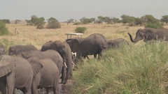 CLOSE UP: Elephants in safari game park crossing road and drinking from puddle Stock Footage