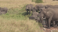 CLOSE UP: Herd of wild elephants drinking water from creek in natural habitat Stock Footage