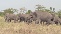 CLOSE UP: Elephants feeding on grass and throwing dirt on back using trunk Stock Footage