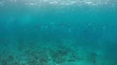 School of Humphead Parrotfishes on a coral reef. 4k Stock Footage