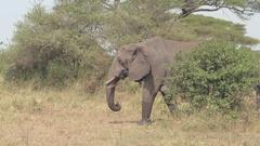 CLOSE UP: Female elephants with baby walking through savannah grassland woodland Stock Footage