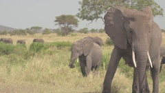 CLOSE UP: Stunning elephant mothers with their cute baby elephants in Africa Stock Footage