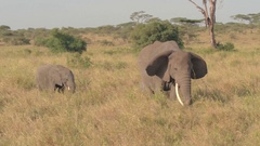 CLOSE UP: Mother and baby elephant grazing on savannah grassland in the morning Stock Footage