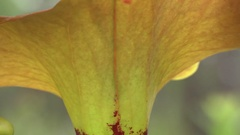 Yellow or Bronze Pitcher Plant (Sarracenia flava var cuprea) Stock Footage