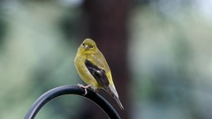 Goldfinch female looks around then leaves. Stock Footage