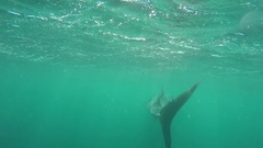 Swimming with a whale shark at Ningaloo Reef Stock Footage