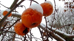 Winter garden apple tree branch and fruit cover with snow hang. Stock Footage