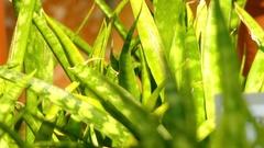 Sansevieria parva is flowering plant Stock Footage