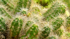 Echinocereus cinerascens Stock Footage