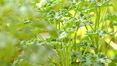 Pelargonium is genus of flowering plants Stock Footage