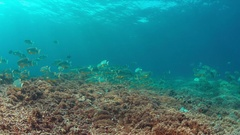 Sailfin and Blubberlip Snapper on a coral reef Stock Footage