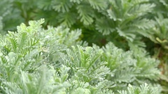 Euryops pectinatus in family Asteraceae Stock Footage
