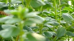 Plectranthus neochilus (spurflowers) Stock Footage