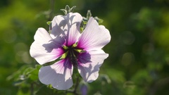 Lavatera maritima in family Malvaceae Stock Footage