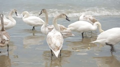 Swans winter sea. migratory birds. Stock Footage