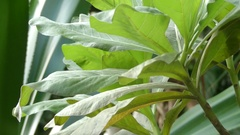 Heliotropium foertherianum (Tournefortia argentea) Stock Footage