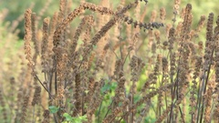Leonurus cardiaca, known as motherwort Stock Footage
