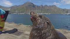 Fat seal thrown fish in harbour 4k Stock Footage