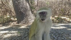 Close up of cute monkey slow motion Stock Footage