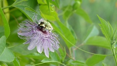 Passiflora incarnata, commonly known as maypop Stock Footage