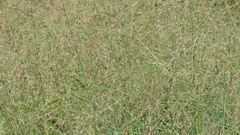 Panicum virgatum, commonly known as switchgrass Stock Footage
