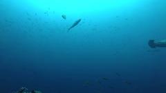 School of hammerhead sharks swimming in the blue - underwater shot Stock Footage