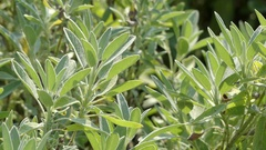 Salvia officinalis (garden or culinary sage) Stock Footage