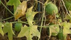 Echinocystis lobata in gourd family Cucurbitaceae Stock Footage