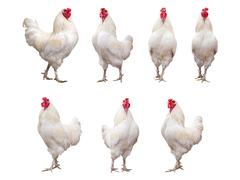 White Rooster, Cock or Chicken isolated on a white background collection Kuvituskuvat