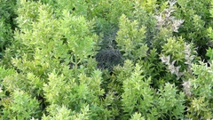 Ruscus aculeatus, known as butchers-broom Stock Footage