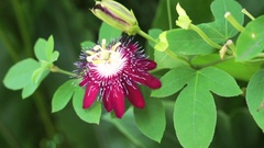 Purple magenta tropical flower. Exotic plant with red purple color Stock Footage