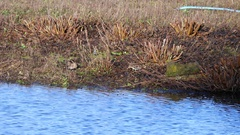 Common Snipe ( Gallinago gallinago ) on a Grass Scrape Stock Footage