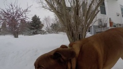 Happy dog in the snow dogue de bordeaux playing 4k Stock Footage
