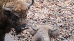 Close up of two big bisons Stock Footage