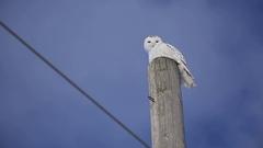 Snowy owl swivelling head on pole Stock Footage