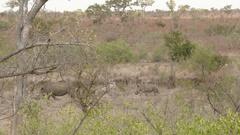White Rhinoceros (Ceratotherium simum) tiny calf following it's mother, Lock Stock Footage