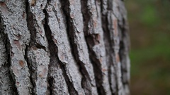 PINE TREE'S THICK SKIN Stock Footage