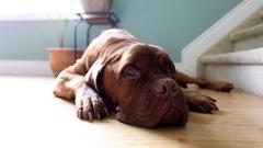 Large dog lounges on hardwood floor Stock Footage