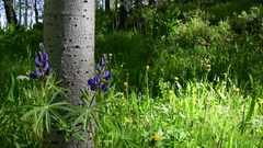 Lush Green Aspen Forest in Colorado Stock Footage