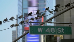 NYC pigeons urban wire birds times square digital billboards skyscrapers facades Stock Footage