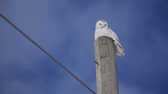 Snowy owl time lapse closeup clouds moving head swivelling Stock Footage