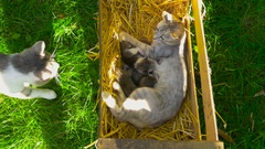 A father cat comes to his cute family Stock Footage