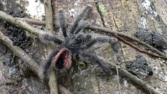 Pink-toe Tarantula on lowland rainforest tree during the day close up Stock Footage