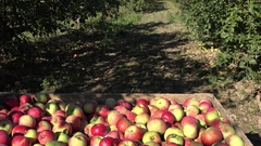 Wooden crate full of harvested apples in farm orchard fruit tree. Tilt up. 4K Stock Footage