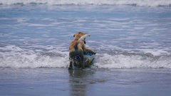 Dog brown color of the water. On the beach in Ocean volleyball. Animal wearing a Stock Footage