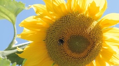 Large bee collects pollen in the sunflower Stock Footage