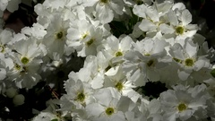 4k Wild white roses bush close up in sunny botanic garden Stock Footage