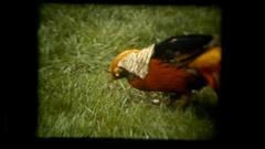 Vie pheasant bird colorful Stock Footage